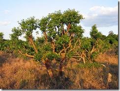 شجرة متة برية